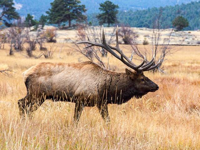 Majestic Bull Elk