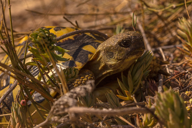 Mediterranean tortoise in el Saler (Valencia)