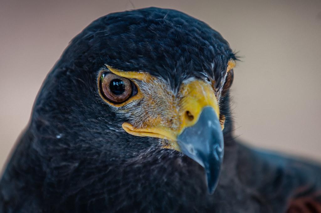 Harris Hawk - up close