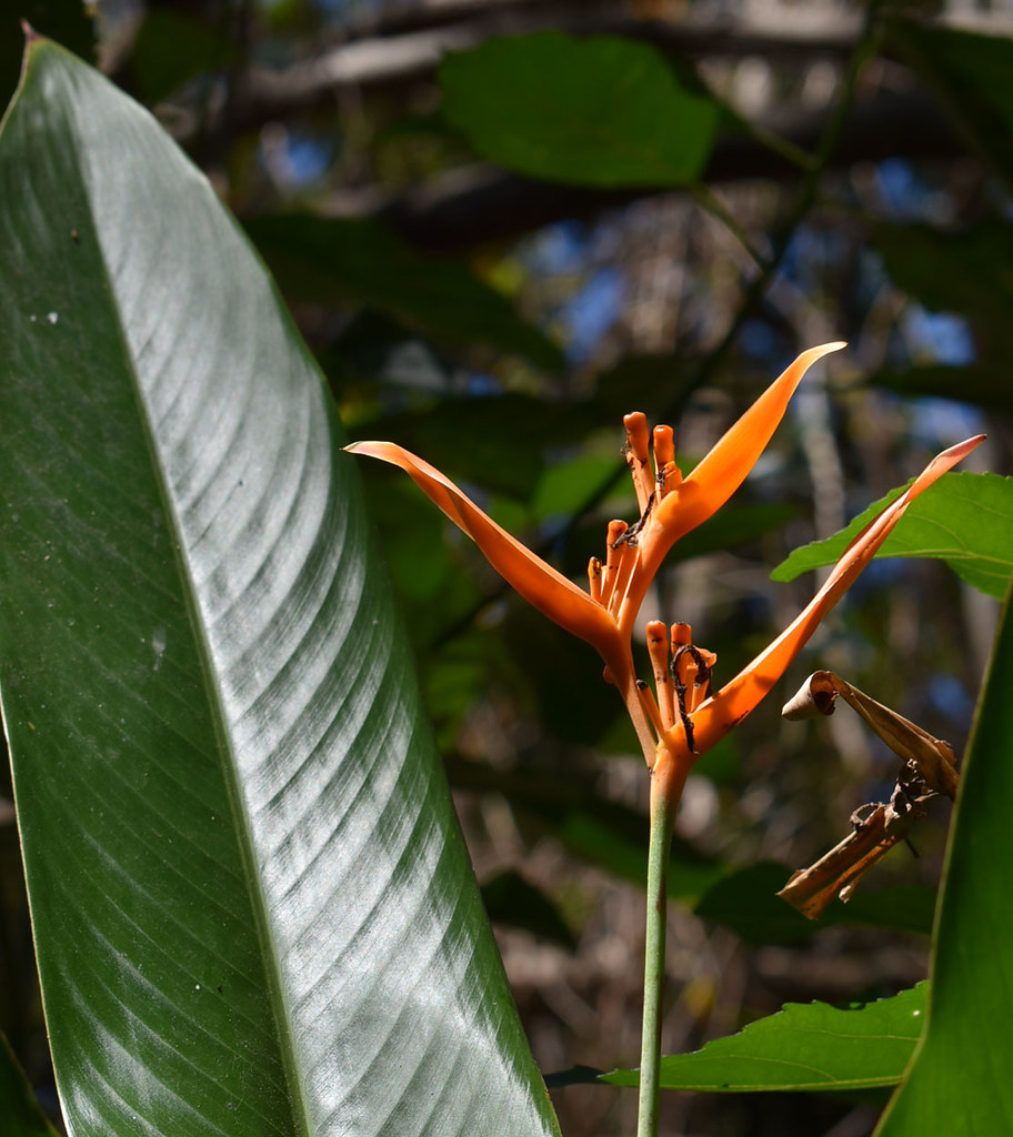Heliconia psittacorum, Centenary Lakes, Cairns, QLD, 29/09/19