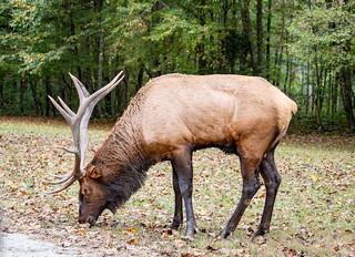 Smoky Mountain Elk