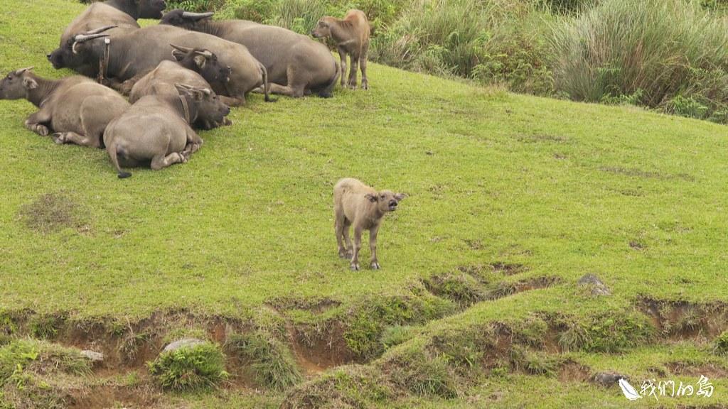 這群在陽明山國家公園內的水牛,其實和過去山上的農業活動,息息相關。