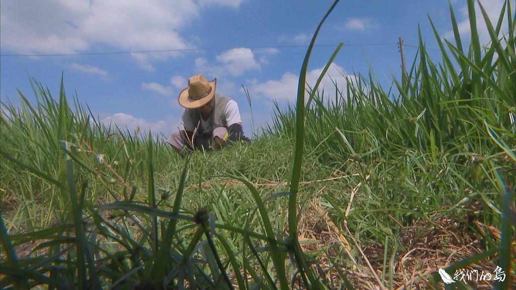 拔起的野草不用移出,腐爛後自然能化為秧苗的養分。