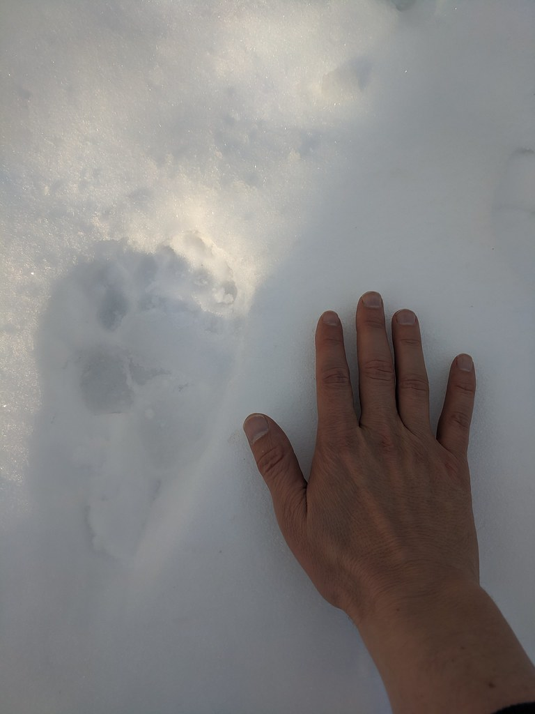 Mike's hand next to a bear track