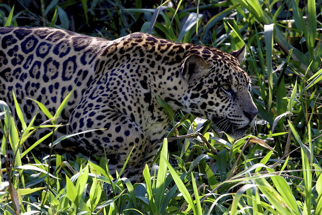 A  Jaguar (Panthera onca), moves silently along the river bank
