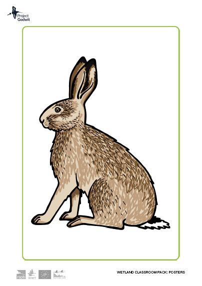 Eurasian Hare Poster