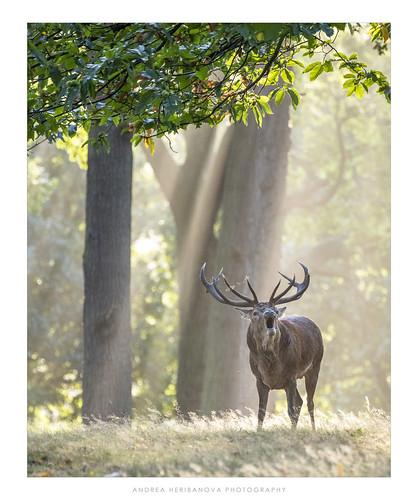 stag deer rut bellowing morning sun light ray sunrise autumn woods trees richmondpark london england surrey antlers nikon d850 wildlife animal nature outdoors mammal