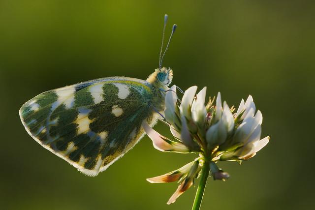 Pontia daplidice (7)