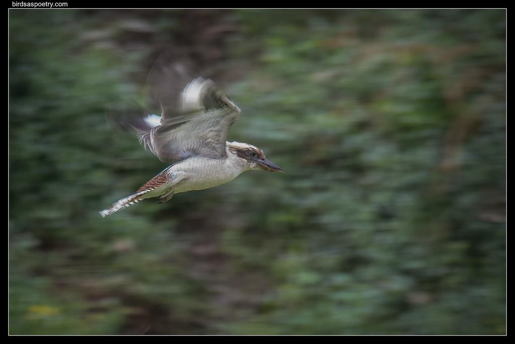 Laughing Kookaburra: Winding Up