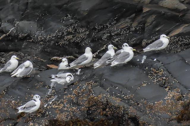 Black-Legged Kittiwakes -  Nesting Colony