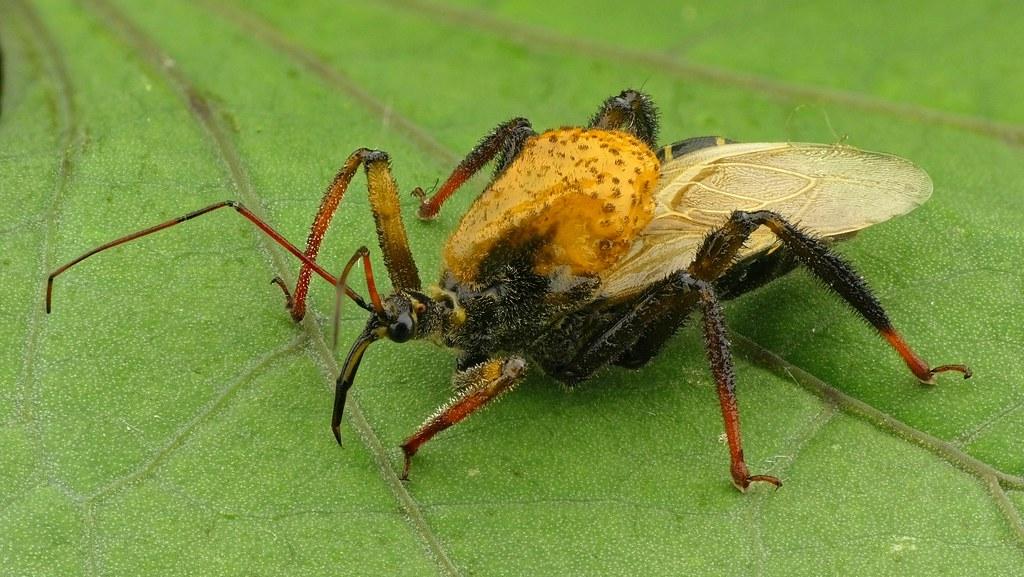 Bee Assassin, Notocyrtus sp., Reduviidae by Andreas Kay   Via Flickr:  from Ecuador: www.youtube.com/AndreasKay