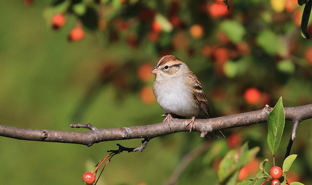 Chipping Sparrow- Bruant familier ( Richard )