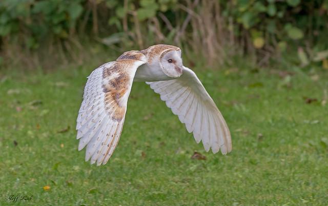 JWL0060 Barn Owl...