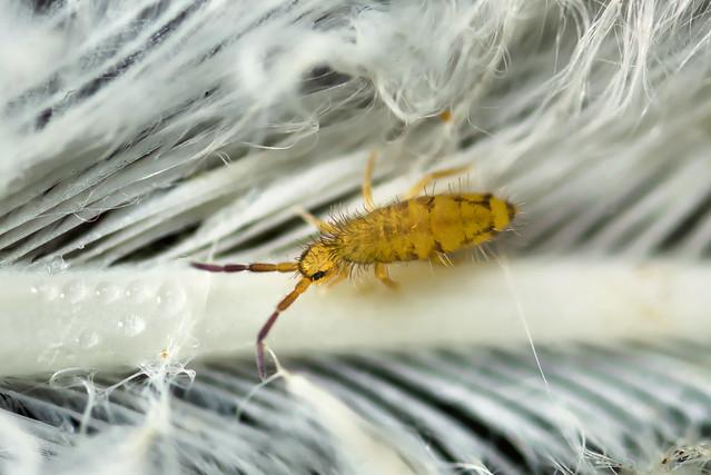 entomobrya_nivalis_DSC0257