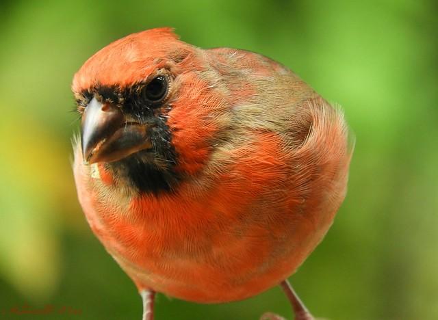 Cardinal male juvenile