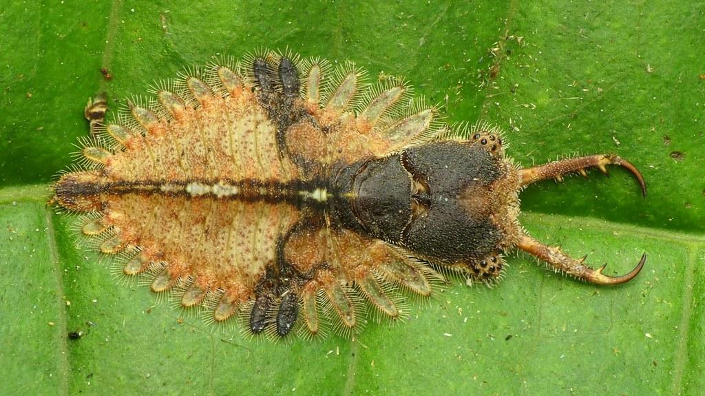 Owlfly by Andreas Kay   Via Flickr:  from Ecuador: www.youtube.com/AndreasKay