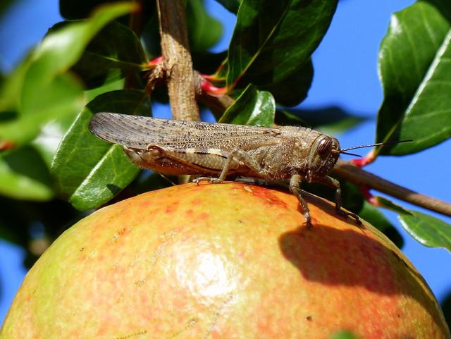 Egyptian Locust - Ägyptische Wanderheuschrecke