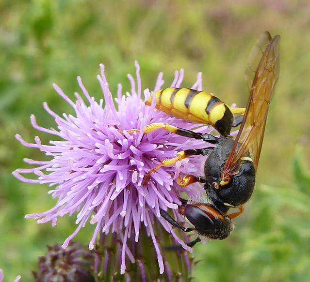 Female beewolf on thistle
