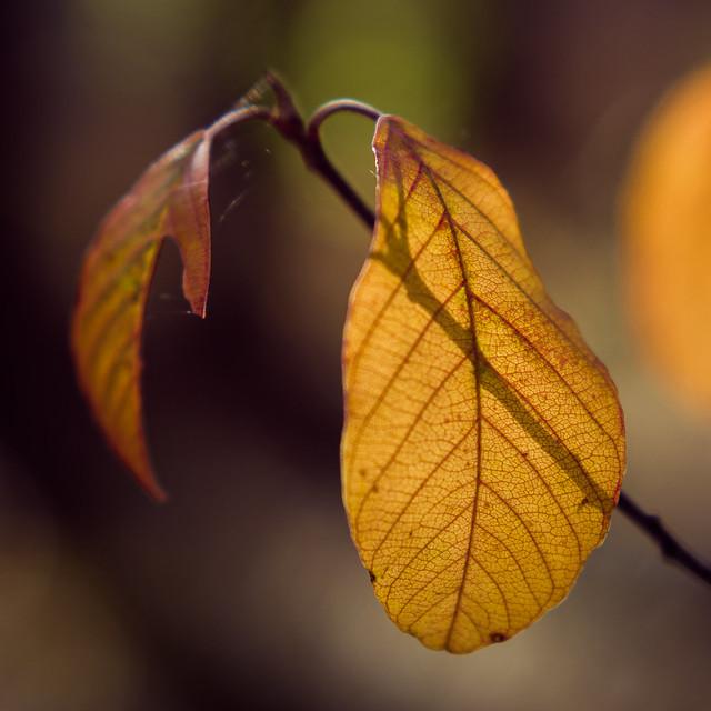 Yellow Autumn Leave