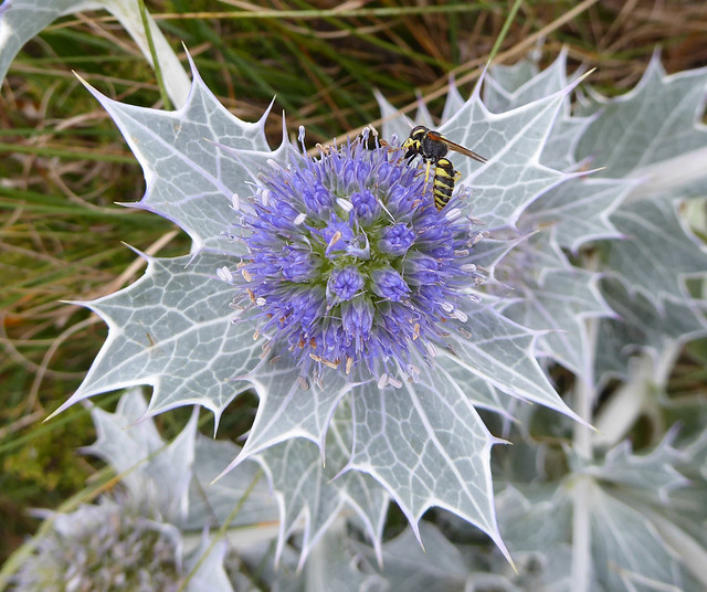 beewolf on sea holly