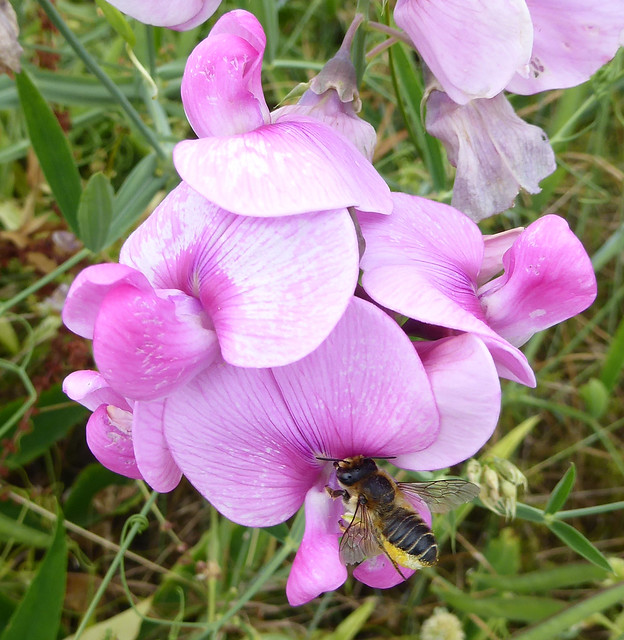 Broad-leaved everlasting pea with leafcutter bee
