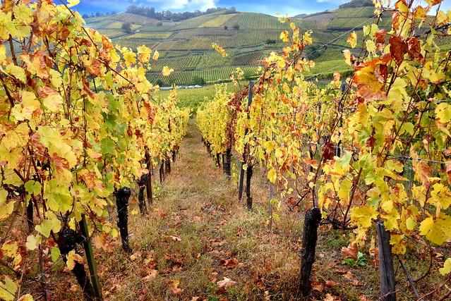 Vignoble alsacien (Turckheim, F)