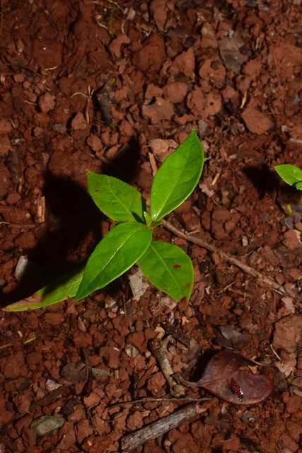 Byrsonima crassifolia (L.) Kunth * Nance *