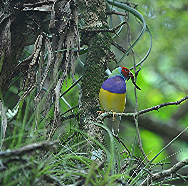 Gouldian gathering twigs... males build the nest