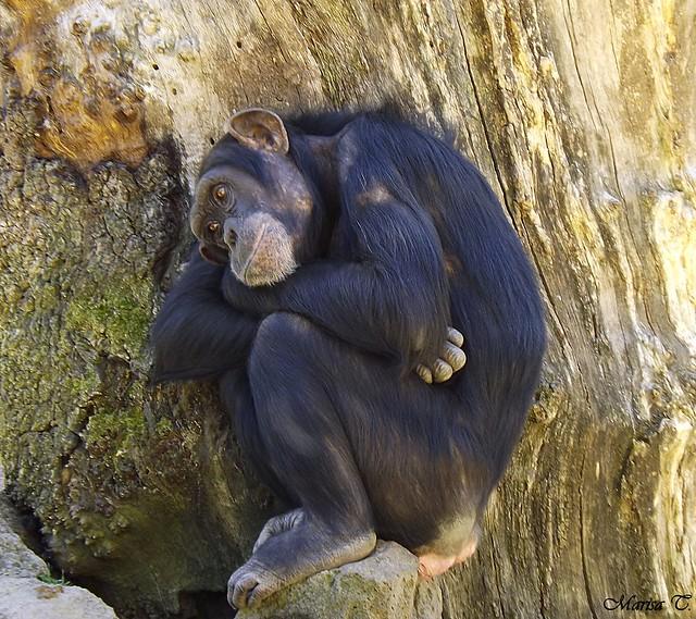 Chimpancé común de África central