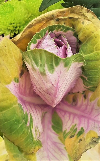 Ornamental Cabbage - Brassica