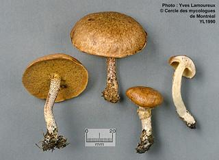 Suillus subalutaceus (A. H. Sm. & Thiers) A. H. Sm. & Thiers (B) / Bolet alutacé