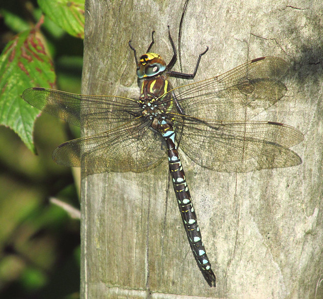 Common Hawker Dragonfly - Male (Aeshna juncea) 2019-09-20. Parc Slip, Aberkenfig, South Wales