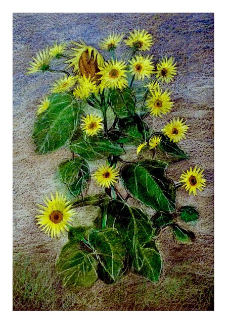 Sunflowers. Last stage of 4. Coloured pencil drawing on black card by jmsw.