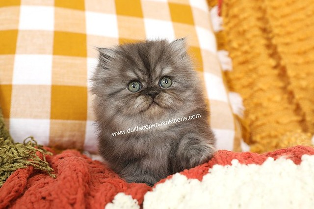 Black Smoke Persian Kitten