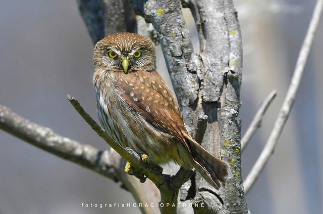 - CABURE ... ( Glaucidium brasilianum - Ferruginous pygmy owl ) toma en Reserva Costanera Sur.RECS.Argentina -Buenos Aires .