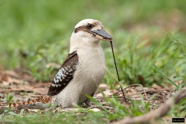 Laughing Kookaburra (Dacelo novaeguineae novaeguineae)