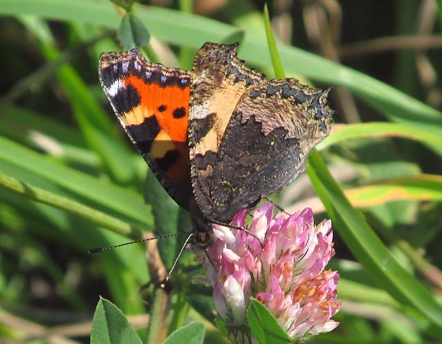Small Tortoiseshell Butterfly (Aglais urticae) - Underside 2019-09-17. Parc Slip, Aberkenfig, South Wales