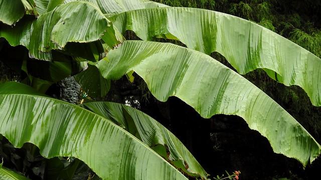 Wet British Columbian Banana Leaves