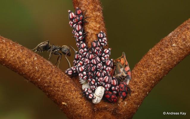 Treehoppers, Tritropidia galeata
