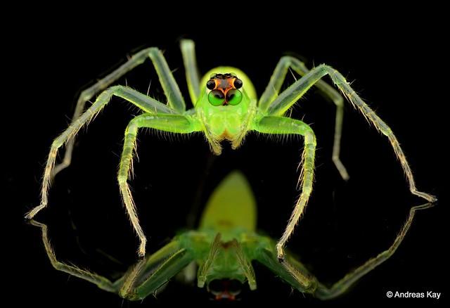 Video: Green Jumper Crosses Eyes as it sees its Mirror Image