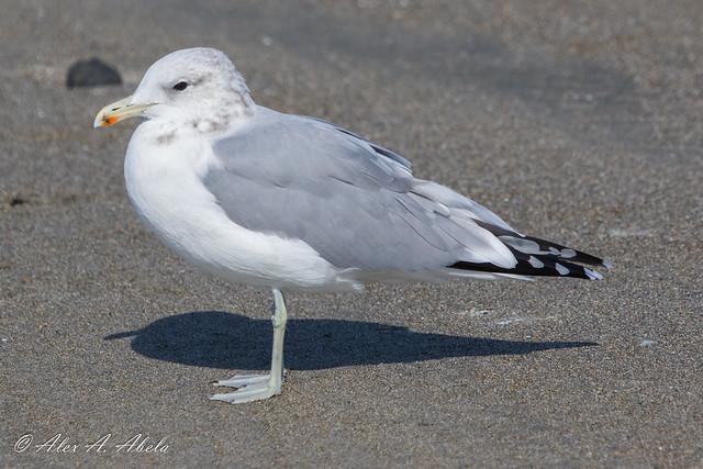 California Gull - Adult - September