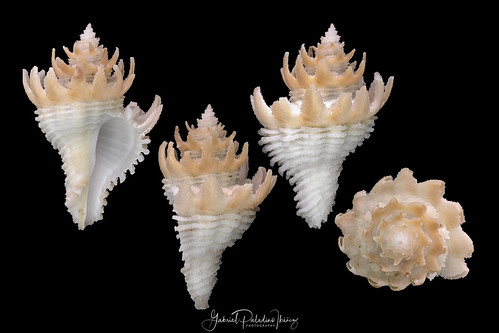 Babelomurex japonicus (Dunker, 1882) | by Gabriel Paladino Photography