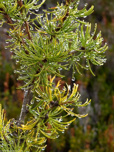 Dew on Larch