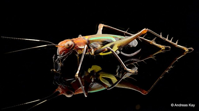 Cricket, Phylloscirtus sp.
