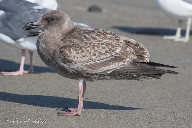 Western Gull - 1st Year - September