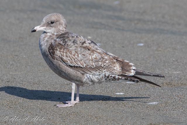 California Gull - 1st Year - September