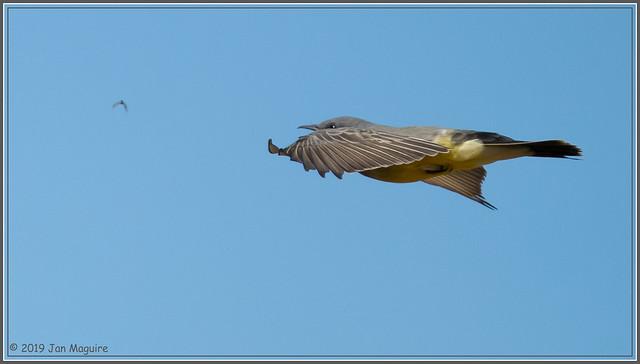Kingbird Chases Down a Bug 1599