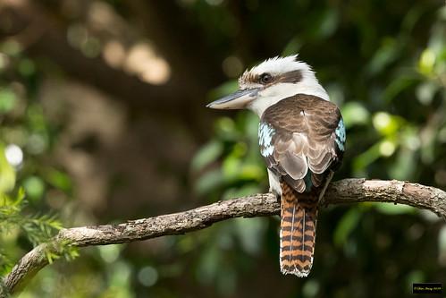 dacelonovaeguineaenovaeguineae dacelonovaeguineae dacelo novaeguineae laughingkookaburra laughing kookaburra blacktown nsw australia leastconcern
