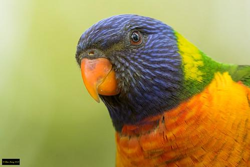 trichoglossusmoluccanus trichoglossus moluccanus rainbowlorikeet rainbow lorikeet parrot blacktown nsw australia leastconcern