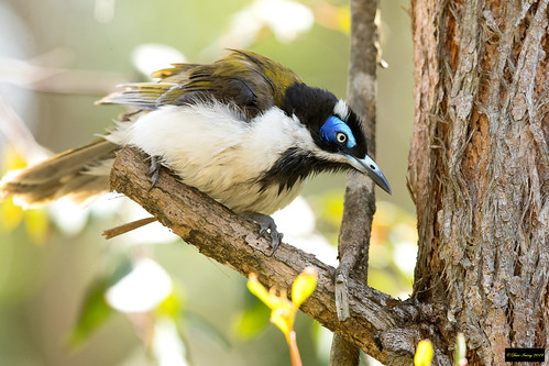 entomyzoncyanotiscyanotis entomyzoncyanotis entomyzon cyanotis bluefacedhoneyeater bluefaced honeyeater blacktown nsw australia leastconcern adult
